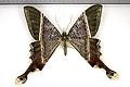 Nothus lunus (Linnaeus, 1758) - ♀ recto