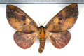 adelowalkeria-plateada-female