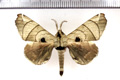 Apatelodes firmiana (Stoll, 1782)