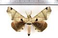 Apatelodes pandarioides Schaus, 1905