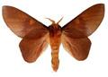 psilopygoides-oda-male