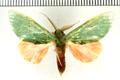 Rosema myops Felder, 1874