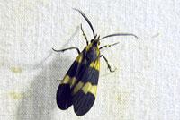 Correbidia calopteridia (Butler, 1878)