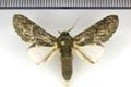 Disphragis aroensis Schaus, 1901