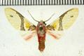 Idalus admirabilis (Cramer, 1777)
