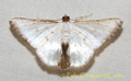 Berberodes cassiteris Warren, 1906