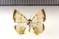 Berberodes fulvicomosa (Warren, 1907)