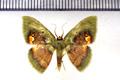 Pyrochlora majorcula Dyar, 1925